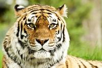 Tablou canvas tigru (12)