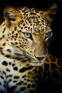 tablou leopard (8)