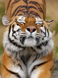 Tablou canvas tigru (11)