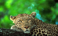Tablou canvas leopard (16)