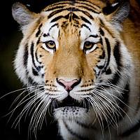 tablou tigru (9)