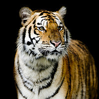 tablou tigru (8)