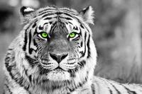 Tablou canvas tigru(12), bicolor