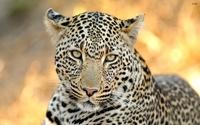 tablou leopard (13)