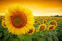 tablou floarea soarelui (35)