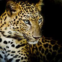 tablou leopard (9)