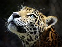 tablou leopard (15)