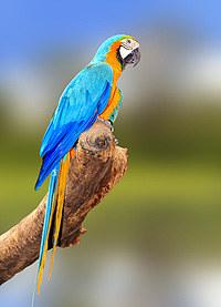 tablou papagal (2)