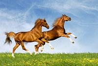 tablou cai (60)