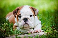 Tablou canvas bulldog (1)