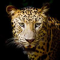 tablou leopard (7)