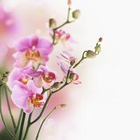 tablou orhidee (58)