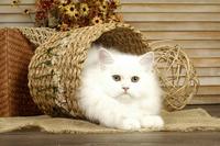 tablou pisica (12)