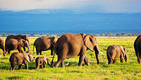 tablou elefanti, kenya, africa