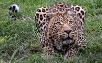 Tablou canvas leopard (18)